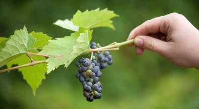 Названы самые полезные для здоровья сорта винограда