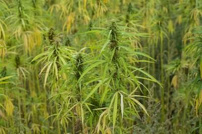 В Малайзии могут легализовать медицинскую марихуану