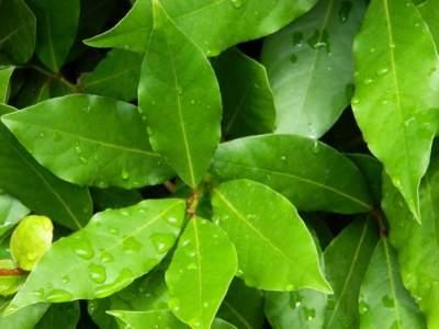 Медики перечислили полезные свойства лаврового листа