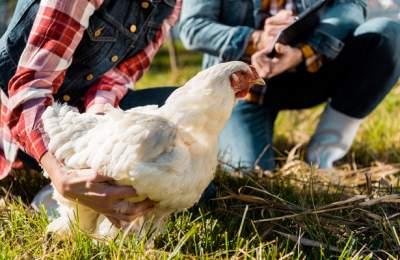 Ученые создали лечебных куриц
