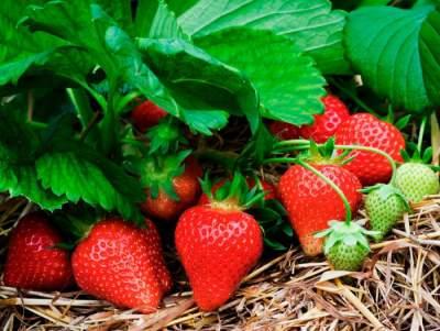 Эта ягода очистит организм и повысит либидо