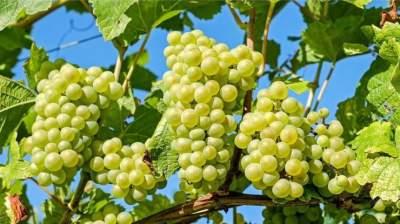 Врачи рассказали, кому вредно есть виноград