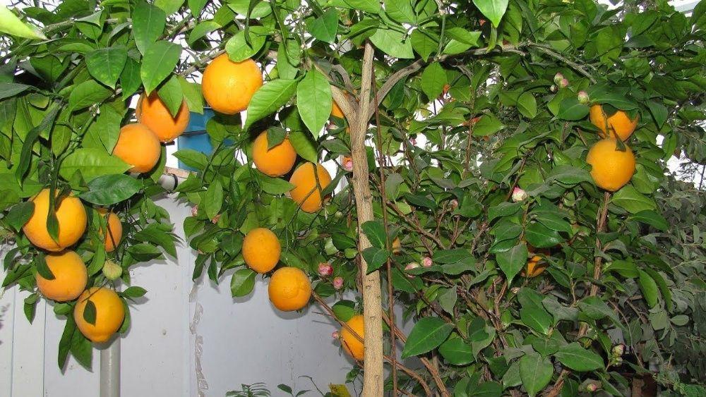 Саженцы цитрусовых деревьев в наших широтах