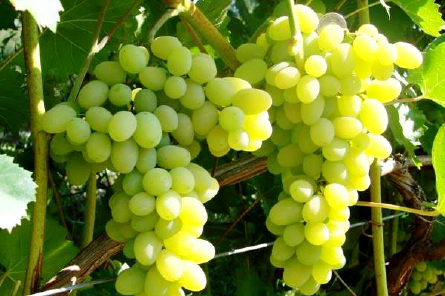 Медики рассказали о пользе винограда для сердца